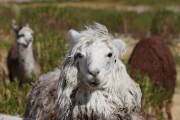 Alpaca at Titicaca