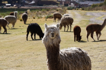 Alpacas at Lake Titicaca