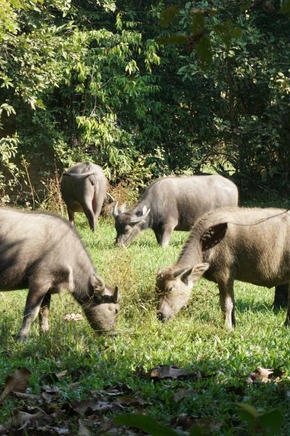 Ox at Banteay Srei